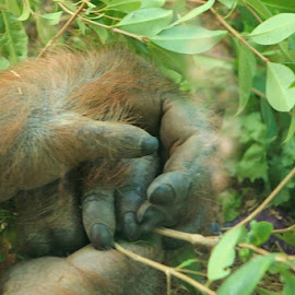 Opposable Thumbs by Wendy Smith  - Animals Other Mammals ( thumbs, zoo, hands. orangutan, fur )