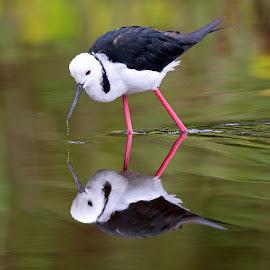 Water Reflections by Anthony Goldman - Animals Birds ( bird, wild, stilt, black winged, reflections, sydney )