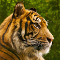 Tiger HD LWP Full icon