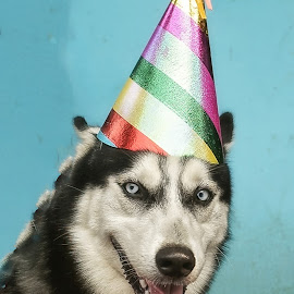 exo 1st anniversary #1 by Tt Sherman - Animals - Dogs Portraits ( birthday, anniversary, bow tie, dog portrait, dog, portrait )