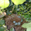 Common Blackbirds eggs