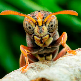 Bee by Carrot Lim - Animals Insects & Spiders