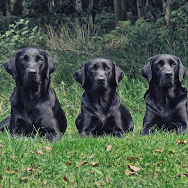 Black Labrador Gun Dogs by Graham Sivills Fimis - Animals - Dogs Portraits ( sitting, gun dog, working dogs, gun dogs, three, trio, black lab, labrador, black )