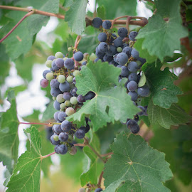 by Givanni Mikel - Nature Up Close Gardens & Produce ( wine, vineyard, purple, grapes, green, leaves )