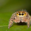 Horned Jumping spider Female