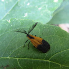 Terminal net-winged beetle