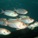 Glasseye Fish
