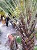 Gambar preview Pohon kurma berbuah