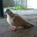 Tortola de collar (Barbary Dove)
