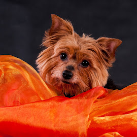 You're normal, missus? by Renata Horáková - Animals - Dogs Portraits ( yorkshire terrier,  )