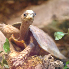 Am I Not Turtley Enough for You? by Jason Gaston - Animals Reptiles ( tiny, little, long neck, cute, turtle,  )