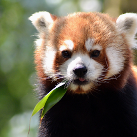 Tasty Leaves by David Francis - Animals Other Mammals ( red, panda, leaf, animal, china )