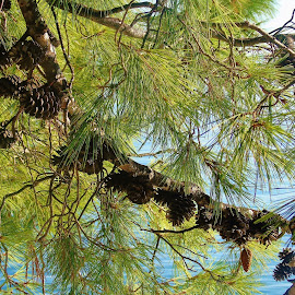 PINE by Wojtylak Maria - Nature Up Close Trees & Bushes ( nature, tree, sea, pine, cones )