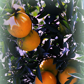 Ripe Oranges by Tamsin Carlisle - Nature Up Close Gardens & Produce ( orange, fruit, tree, ripe, orchard, harvest, turkey, leaves,  )