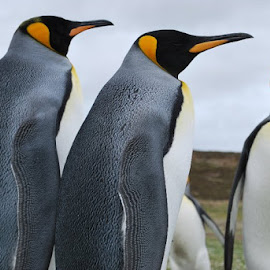 Penguins at Falkland Islands by Phil Bulpin - Novices Only Wildlife