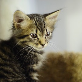 Khaleesi by Shannon Warren - Animals - Cats Kittens ( kitten, sweet, kittens, cute )