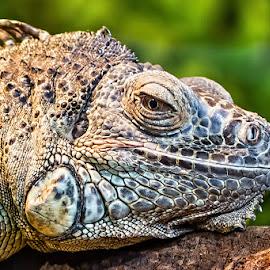 Iguana by Annet van Raalten - Animals Amphibians