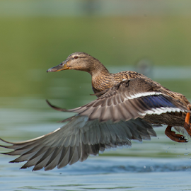 the fly by Riccardo Trevisani - Animals Birds ( riccardo trevisani, mallard, female, fly, wildlife )