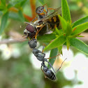 Jumping ant catches hoverfly