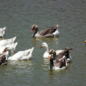 Domestic Swan Goose, Domestic Greylag Goose