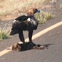 Wedge -tailed Eagle