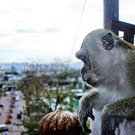 Macaque Monkey Watching the Street Below by Matt Dittsworth - City,  Street & Park  Street Scenes ( macaque monkey, god, batu caves, watch, malaysia, street scene, kuala lumpur, monkey )
