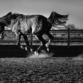 Ride the Lightning by Veselin Malinov - Animals Horses ( horses, horse, black hores, power, jump,  )