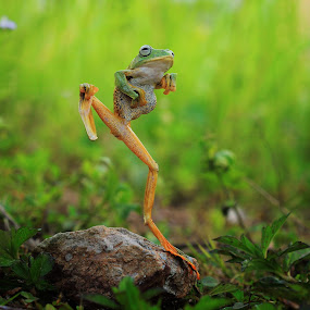 Kungfu Frog by Roem Hasadi - Animals Amphibians ( kungfu, macro, kick, frog, indonesia, funny, batam, animal )