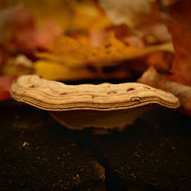 by Chandra Whitfield - Nature Up Close Mushrooms & Fungi ( mushroom, nature, autumn, fall, leaf, leaves, photography )