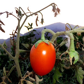 tomato fresh by Lalaji Anwar - Food & Drink Eating ( red, food, healthy, vegetable, tomatoes )