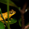 Yellow Bush Frog