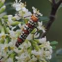 Ailanthus webworm
