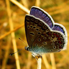 Polyommatus icarus ♂ by Norbert Szenográdi - Novices Only Macro