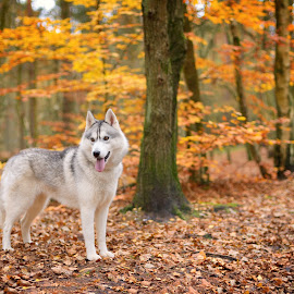 San by Paweł Prus - Animals - Dogs Portraits ( intelligent, breed, almond, canis, wood, pull, show, sled, harsh, landscape, siberia, colour, leafs, autumn, family, icee, husky, grey, working, coat, sibe, spitz, white, forest, siberian, woods, portrait, color, female, pet, outdoor, fall, lupus, sibirsky, ears, active, brown, dog, dense, nose, shaped )