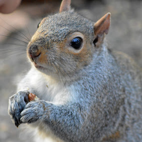 by Neil Hannam - Animals Other Mammals ( mammal, squirrel, animal )