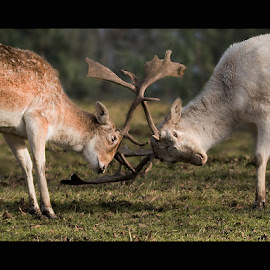 The Battle by Lee Sutton - Animals Other Mammals