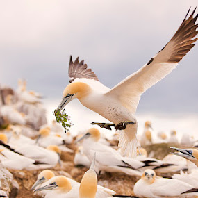 Gannetts by Peter Krocka - Animals Birds ( #bird #coast #dawn #gannet #nature #preening #sea #summer #sunrise #wildlife, , bird, fly, flight )