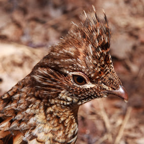 Ruffed Grouse by Peter Andrusyszyn - Animals Birds ( photo by pete andrusyszyn, beaver lake, ruffed grouse )