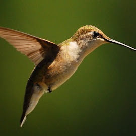 Hovering Hummer by Karen Talasco - Animals Birds ( hummingbird, ruby-throated hummingbird. )