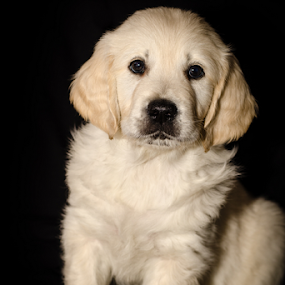 Seven Weeks of Cute by Mike Woodford - Animals - Dogs Puppies ( retriever, fluffy, adorable, puppy, baby, cute, dog, young, golden )