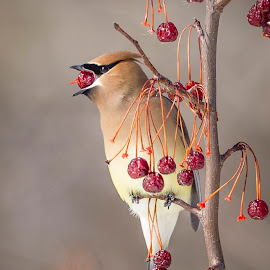 Fruit guy by Jacques-André Dupont - Animals Birds ( cedar waxwing, jaseur d'amérique )