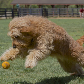 by Ross Bolen - Animals - Dogs Playing