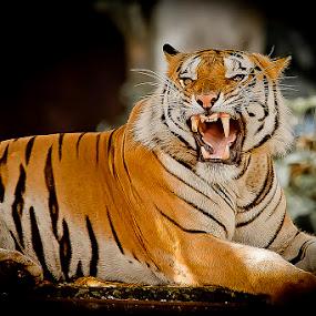 TIGER by Mc Pujiyanta - Animals Lions, Tigers & Big Cats