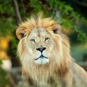 King by Cristobal Garciaferro Rubio - Animals Lions, Tigers & Big Cats ( lion, big lion, male, lion king )
