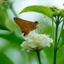 Pale Palm Dart