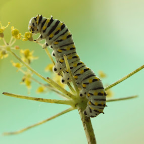 Munching on fennel by Chris Taylor - Animals Insects & Spiders ( macro, larvae, nature, plants, wildlife, caterpillar, insect, close up )