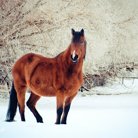 winter by Mindee Green - Animals Horses ( horse )