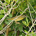 Common Yellowthroat (immature male)