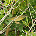 Common Yellowthroat (immature male)