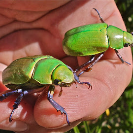 Arizona June Bugs by Rick Luiten - Animals Insects & Spiders (  )
